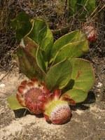 proteaceae-protea_acaulos.jpg