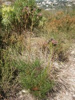 proteaceae-serruria_elongata.jpg