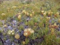proteaceae-serruria_glomerata.jpg