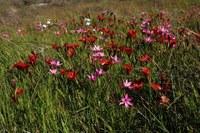 renosterveld-hesperantha_pauciflora_romulea_sabulosa