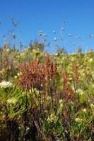 roridulaceae-roridula_gorgonias_1.jpg