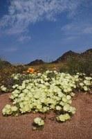 rosaceae-grielum_humifusum.jpg