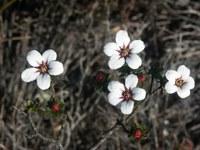 rutaceae-adenandra_villosa.jpg