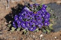 scrophulariaceae-aptosium_indivisum.jpg
