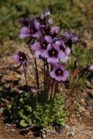 scrophulariaceae-diascia_sp_1.jpg