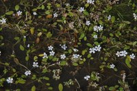 scrophulariaceae-limosella_grandiflora.jpg