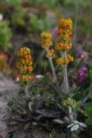scrophulariaceae-manuela_tomentosa.jpg