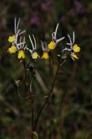 scrophulariaceae-nemesia_cheiranthus.jpg