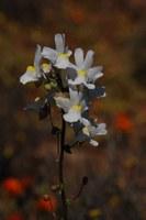 scrophulariaceae-nemesia_leipoldtii.jpg