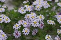 scrophulariaceae-zaluzianskya_affinis.jpg