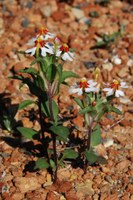 scrophulariaceae-zaluzianskya_sp.jpg