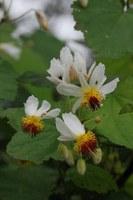 tiliaceae-sparrmannia_africana.jpg