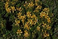 zygophyllaceae-zygophyllum_flexuosum.jpg