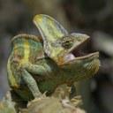 Testosteron nedělá velké bojovníky – aspoň u chameleonů?