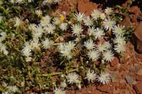 aizoaceae-caulipsolon_rapaceum.jpg