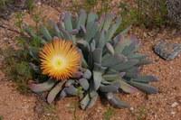 aizoaceae-cheiridopsis_sp.jpg