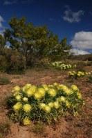 aizoaceae-conicosia_elongata_1.jpg