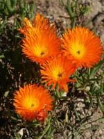 aizoaceae-lampranthus_aureus.jpg