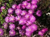 aizoaceae-lampranthus_sp.jpg