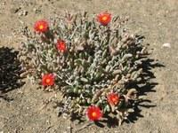 aizoaceae-malephora_purpureo-crocea.jpg
