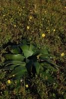 amaryllidaceae-brunsvigia_bosmaniae.jpg