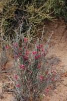 apocynaceae-microloma_sagittatum.jpg