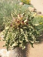 apocynaceae-pachypodium_namaquanum.jpg