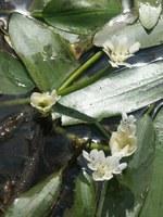 aponogetonaceae-aponogeton_distachyon.jpg
