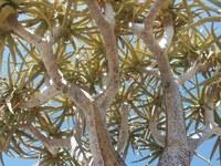 asphodelaceae-aloe_dichotoma_1.jpg