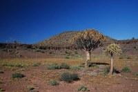 asphodelaceae-aloe_dichotoma.jpg