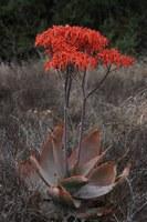 asphodelaceae-aloe_striata.jpg