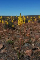 asphodelaceae-bulbinella_elegans.jpg