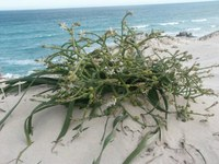 asphodelaceae-trachyandra_divaricata.jpg