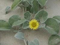 asteraceae-arctotheca_populifolia_1.jpg