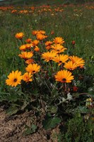 asteraceae-arctotis_acaulis.jpg