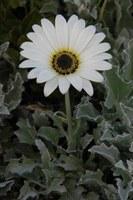 asteraceae-arctotis_hirsuta_1.jpg