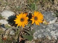 asteraceae-arctotis_hirsuta.jpg