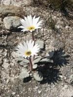 asteraceae-arctotis_sp_1.jpg