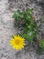 asteraceae-berkheya_coriacea.jpg