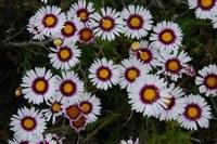 asteraceae-felicia_elongata.jpg