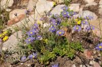 asteraceae-felicia_sp.jpg