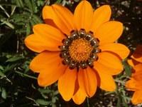 asteraceae-gazania_krebsiana_1.jpg