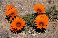asteraceae-gazania_krebsiana.jpg
