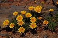 asteraceae-gazania_lichtensteinii_1.jpg