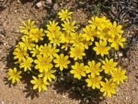 asteraceae-gazania_lichtensteinii_2.jpg