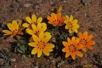 asteraceae-gazania_lichtensteinii.jpg
