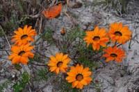 asteraceae-gazania_pectinata.jpg