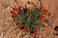 asteraceae-gazania_serrata.jpg