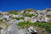 asteraceae-oedera_capensis.jpg