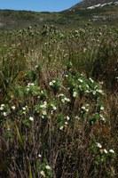 asteraceae-osmitopsis_asteriscoides.jpg